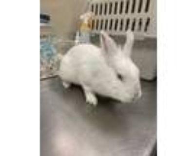 Adopt Bean a White Lionhead / Lionhead / Mixed rabbit in Houston, TX (31733280)