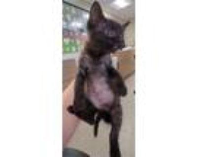 Adopt A693906 a Domestic Short Hair