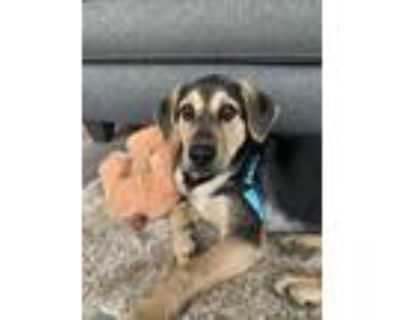 Adopt Biglerville a Black - with Tan, Yellow or Fawn Shepherd (Unknown Type) dog
