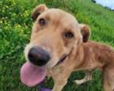 Adopt Rufus a Labrador Retriever, Mixed Breed