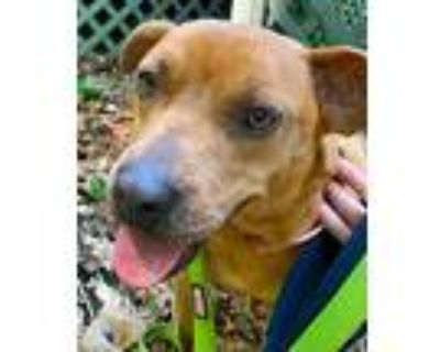 Hartley Rose, Pit Bull Terrier For Adoption In Alpharetta, Georgia