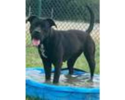 Adopt Maggie a Boxer, Pit Bull Terrier