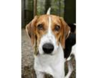 Adopt Gregor a Hound, Mixed Breed