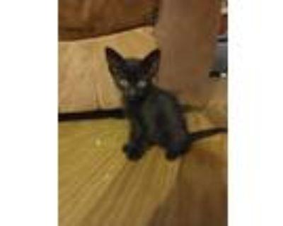 Adopt Raven a American Shorthair, Domestic Short Hair