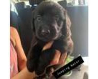 Adopt Jumping Water a Black Labrador Retriever / Mixed dog in Mission