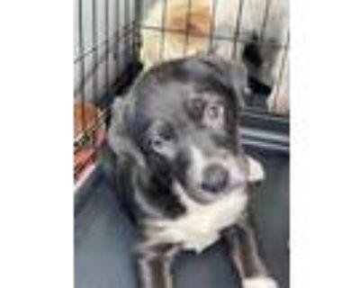 Adopt Cruz a Black - with White Labrador Retriever / Mountain Cur / Mixed dog in
