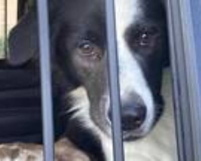 Adopt JOHNNY a Black - with White Border Collie / Mixed dog in Phoenix