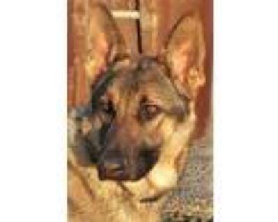 Adopt Molly Lou a Tan/Yellow/Fawn - with Black German Shepherd Dog / Mixed dog