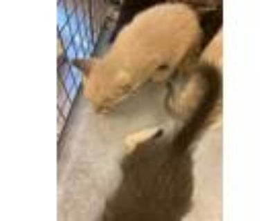 Adopt ALYSSIA a Brown or Chocolate (Mostly) Domestic Shorthair / Mixed (short