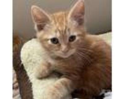 Adopt John Deere a Domestic Short Hair