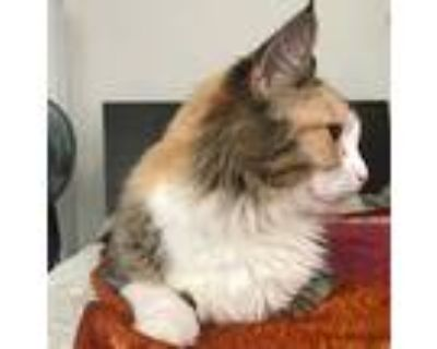 Savannah, Maine Coon For Adoption In Los Angeles, California