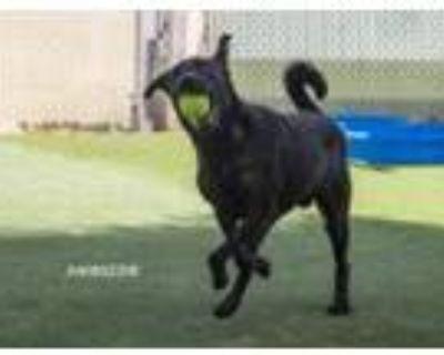 Adopt 46902296 a Black Labrador Retriever / Mixed dog in El Paso, TX (32017915)