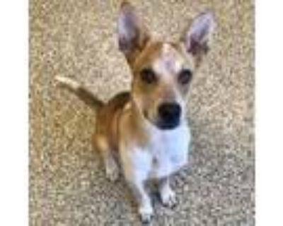 Adopt Clementine a Australian Cattle Dog / Blue Heeler, Mixed Breed