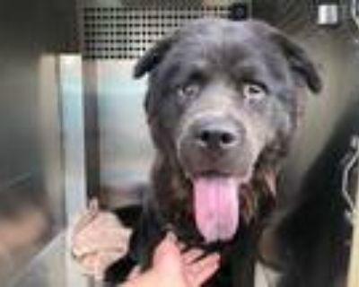 Adopt GATSBY a Black Chow Chow / Mixed dog in Phoenix, AZ (31886816)