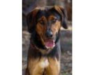 Adopt Appollo a Black German Shepherd Dog / Treeing Walker Coonhound / Mixed dog