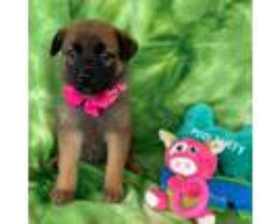 Adopt Violet a German Shepherd Dog, Black Mouth Cur