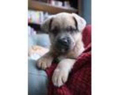 Adopt KEEVA a Gray/Silver/Salt & Pepper - with Black Basset Hound / Labrador