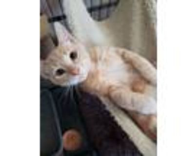 Adopt Leo a Orange or Red Domestic Shorthair / Mixed cat in Fremont