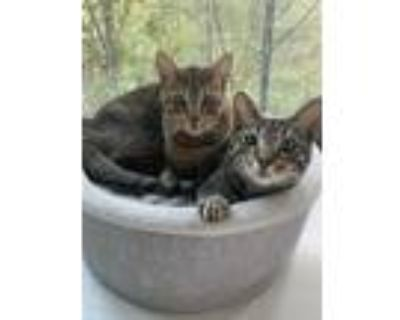 Adopt Antoine and Beauregaurd, two Bengal Brothers a Tiger Striped Bengal /