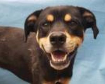 Adopt Noodles a Black Rottweiler / Mixed dog in Woodbury, MN (32132684)