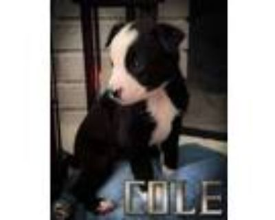 Adopt Cole a Pit Bull Terrier, Boxer
