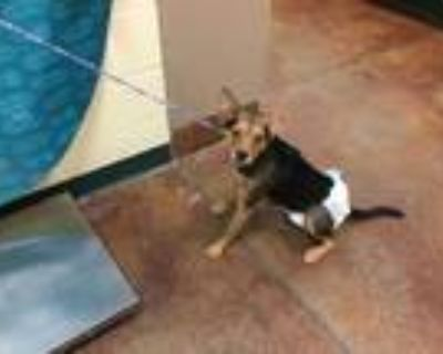 Adopt Dog a Brown/Chocolate - with Tan Terrier (Unknown Type
