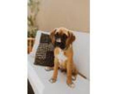 Adopt Maxwell a Boxer / Cane Corso dog in Denver, CO (32070616)