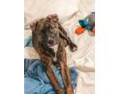 Adopt Valentine a American Staffordshire Terrier, Mastiff