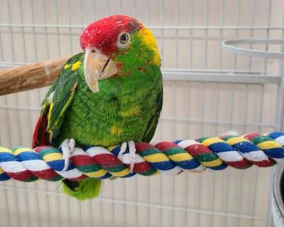 Male Parrot Other named Buddy available for adoption