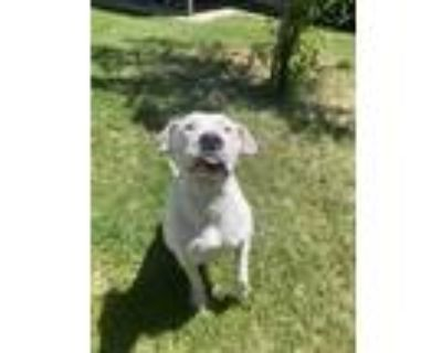Adopt Gunny a White American Pit Bull Terrier dog in Citrus Heights