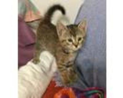 Diana, Domestic Shorthair For Adoption In Henrico, Virginia