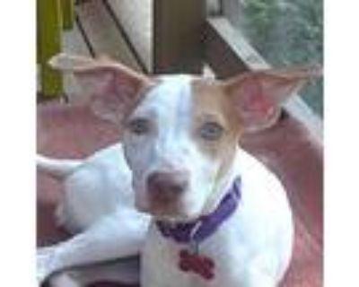 Bisque, Jack Russell Terrier For Adoption In Boston, Massachusetts
