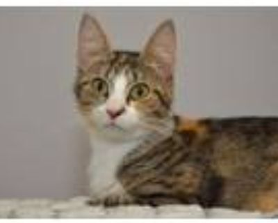 Adopt Madeline a Domestic Short Hair