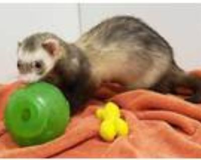Adopt Ross a Sable Ferret / Mixed small animal in Boulder, CO (31969594)