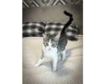 Duchess, Domestic Shorthair For Adoption In Santa Monica, California