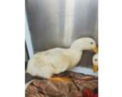 Adopt EDD a White Duck / Mixed bird in Chatsworth, CA (31518332)