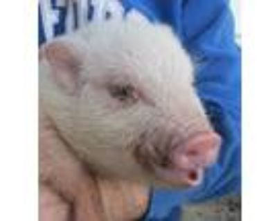 Adopt Porky Pig and Ms. Piggy a Pig (Potbellied) farm-type animal in Frederick