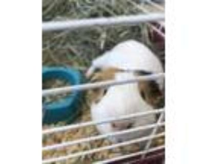 Adopt Treasure a White Guinea Pig / Guinea Pig / Mixed small animal in Fort