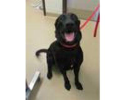 Adopt MADDOX a Black Labrador Retriever / Mixed dog in Derwood, MD (31672119)