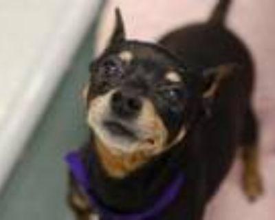 Adopt DAVE a Black Miniature Pinscher / Mixed dog in Denver, CO (31849866)
