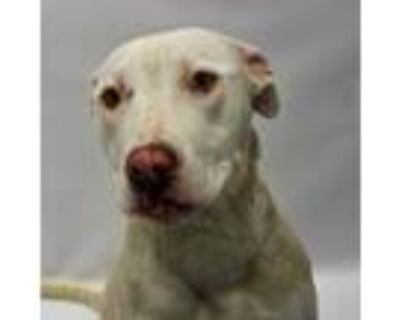 Adopt Jodi a White American Pit Bull Terrier / Mixed dog in Detroit