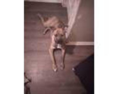 Adopt Roky a Gray/Blue/Silver/Salt & Pepper Great Dane / Bull Terrier / Mixed