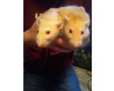 Adopt Big Boy and Long John Silver a Rat