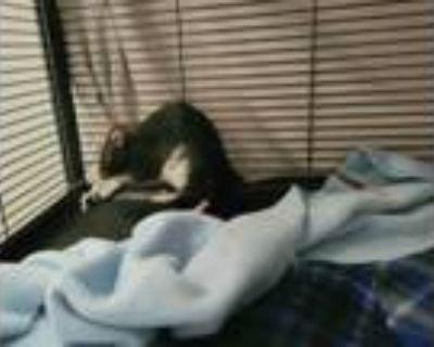 Adopt Remi a Rat