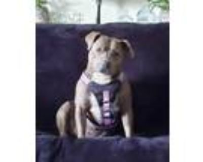 Adopt Evie a Brindle - with White Staffordshire Bull Terrier / Mixed dog in