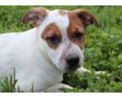 Adopt Doris a Australian Cattle Dog / Blue Heeler, Mixed Breed
