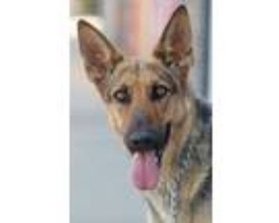 Adopt Willow von Wies a Black - with Tan, Yellow or Fawn German Shepherd Dog /