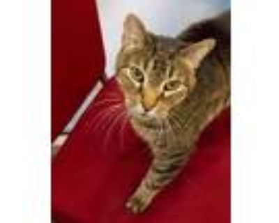 Adopt Raj a Gray or Blue Domestic Shorthair / Domestic Shorthair / Mixed cat in