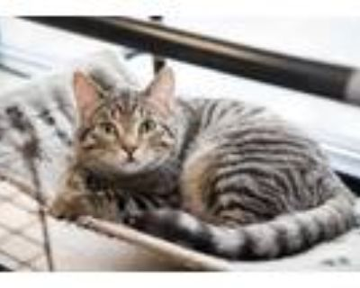 Adopt Zack and Cody a Brown Tabby Domestic Shorthair (short coat) cat in La