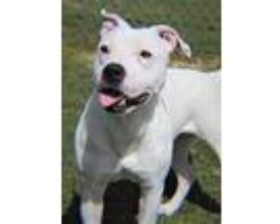 Adopt Jewel a White American Pit Bull Terrier / Mixed dog in Xenia